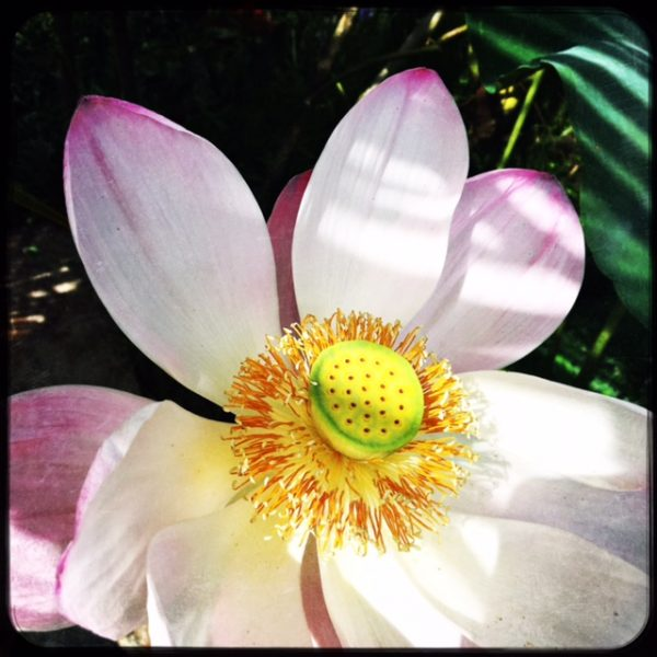 Omkara-Lotus